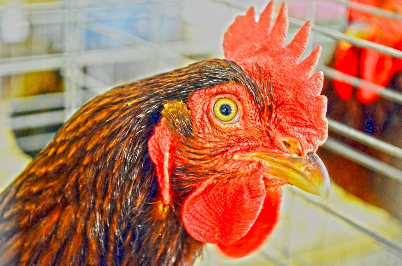 Rooster gives no f*cks—attacks, kills, and eats deadly cobra