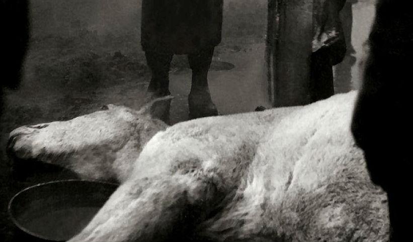 Abattoir Blues: In 'Blood of the Beasts' death has a cruel beauty
