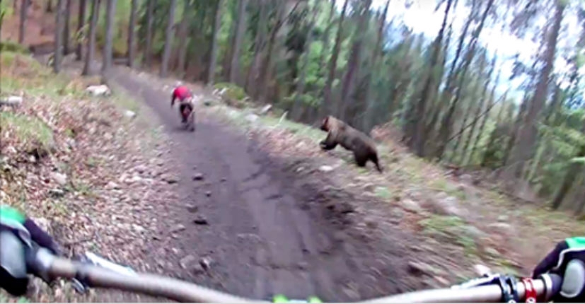 Really scary helmet cam footage of a bear charging mountain bikers