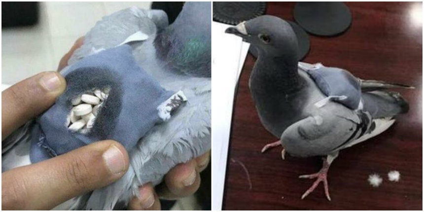 Pigeon caught smuggling ecstasy pills in tiny little backpack