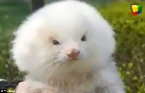 Man buys toy poodles, discovers they're actually ferrets on steroids