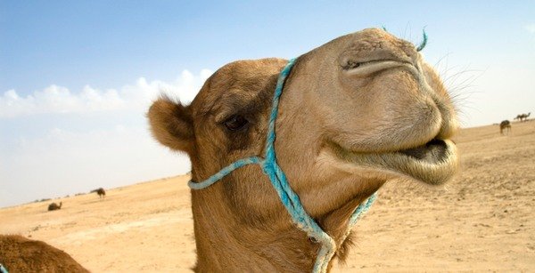 Woman humped to death by camel