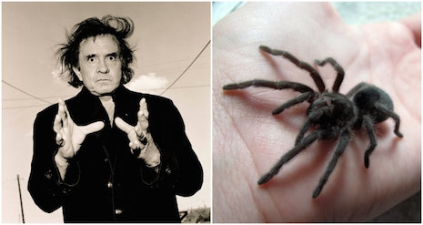 Johnny Cash and Aphonopelma johnnycashi