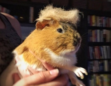 Trump your Cat Guinea Pig