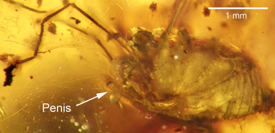 99 million year-old erect spider penis has been discovered